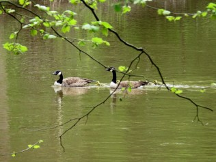 A pair of Canadian Geese and their goslings