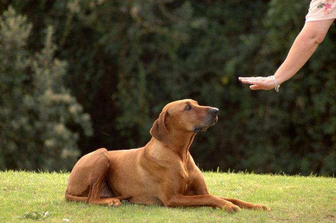 rhodesian ridgeback dog training How To Easily Choose The Best Pet Care Kennel For Your Dog