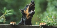 LXP - Lifexpe - Animals Dogs Angry Doberman barking Your Dog Barking Out Of Control? Here's What To Do