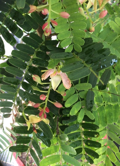 Tamarind bonsai with flowers beautiful and attractive