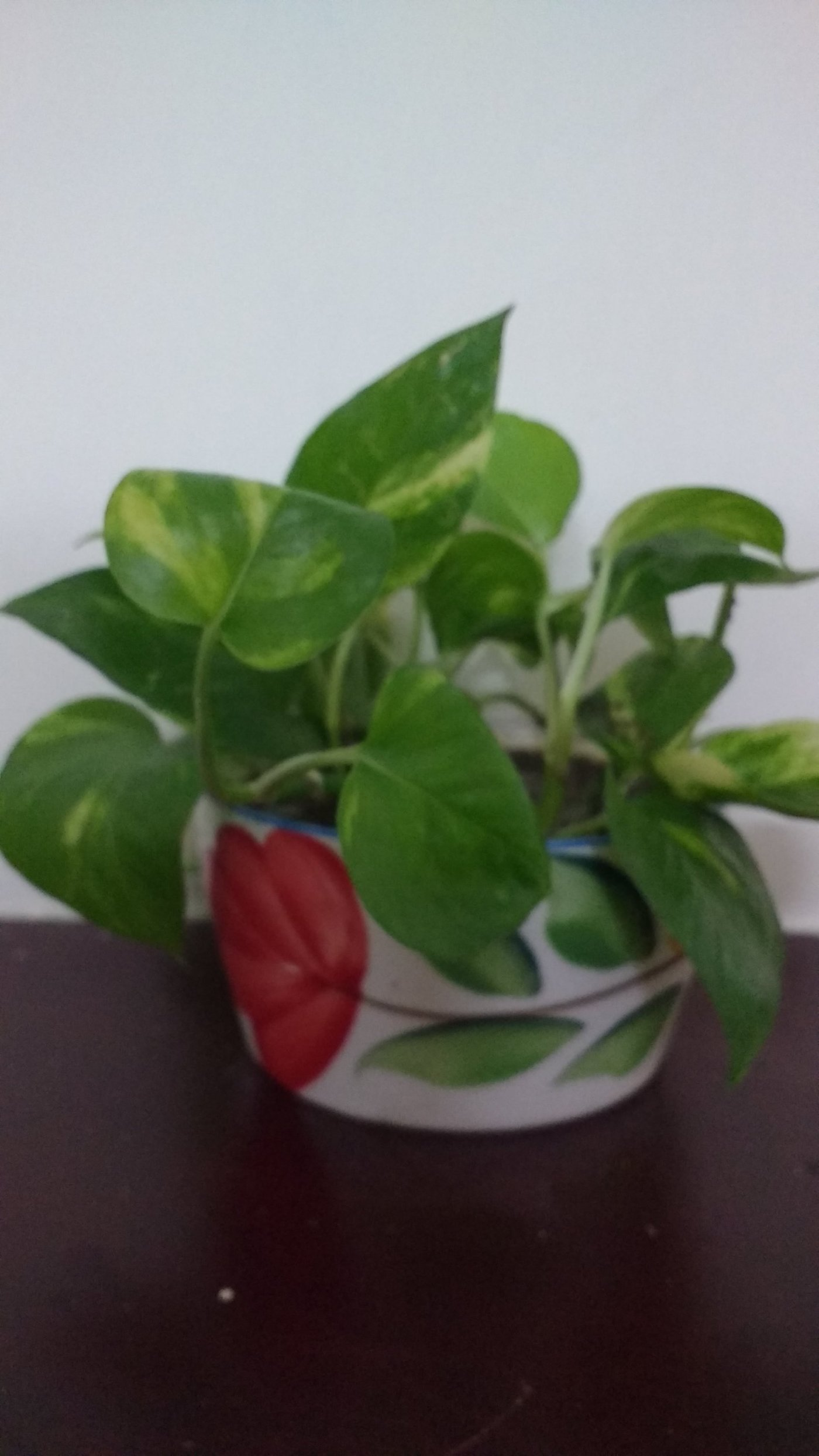 Growing Money Plant Indoors use any pots you like