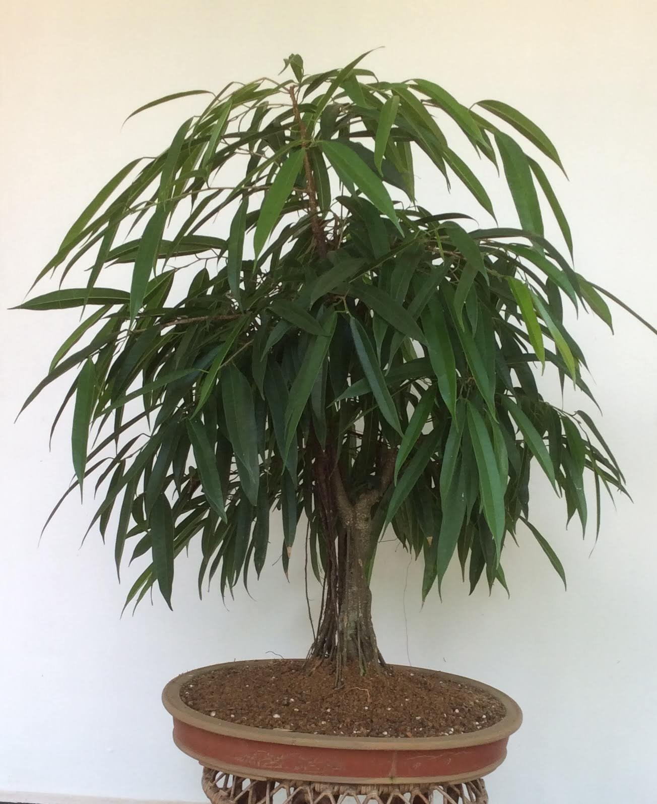 Ficus alii is a beautiful and ideal tropical bonsai plant.
