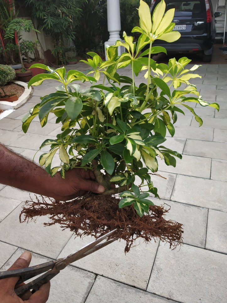 Use pruning scissors or sharp knife for pruning.