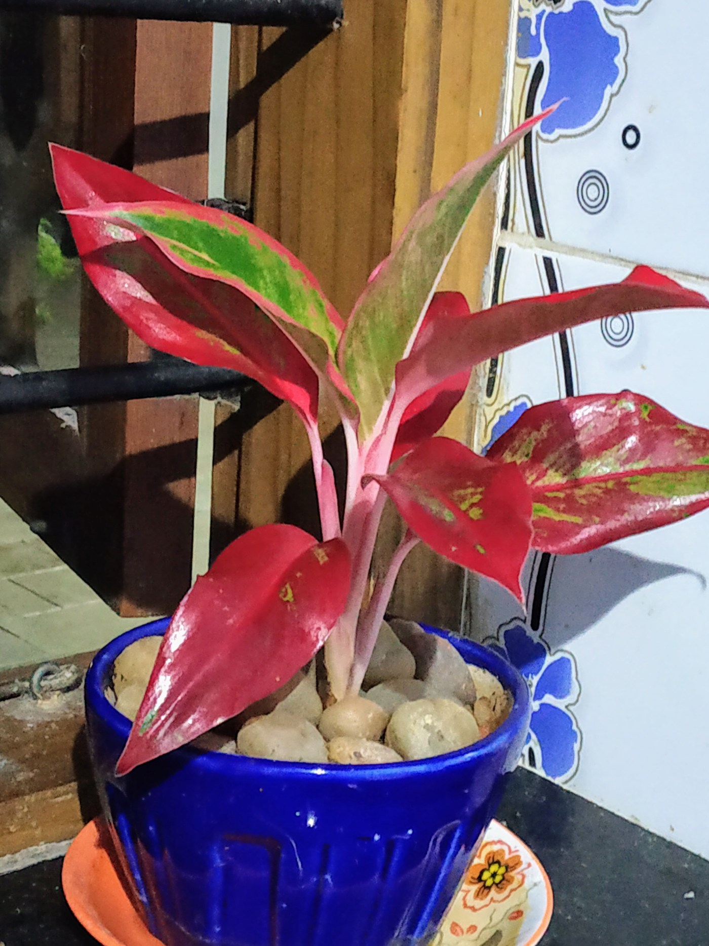 You can plant baby plants of Aglaonema in ceramic pots.