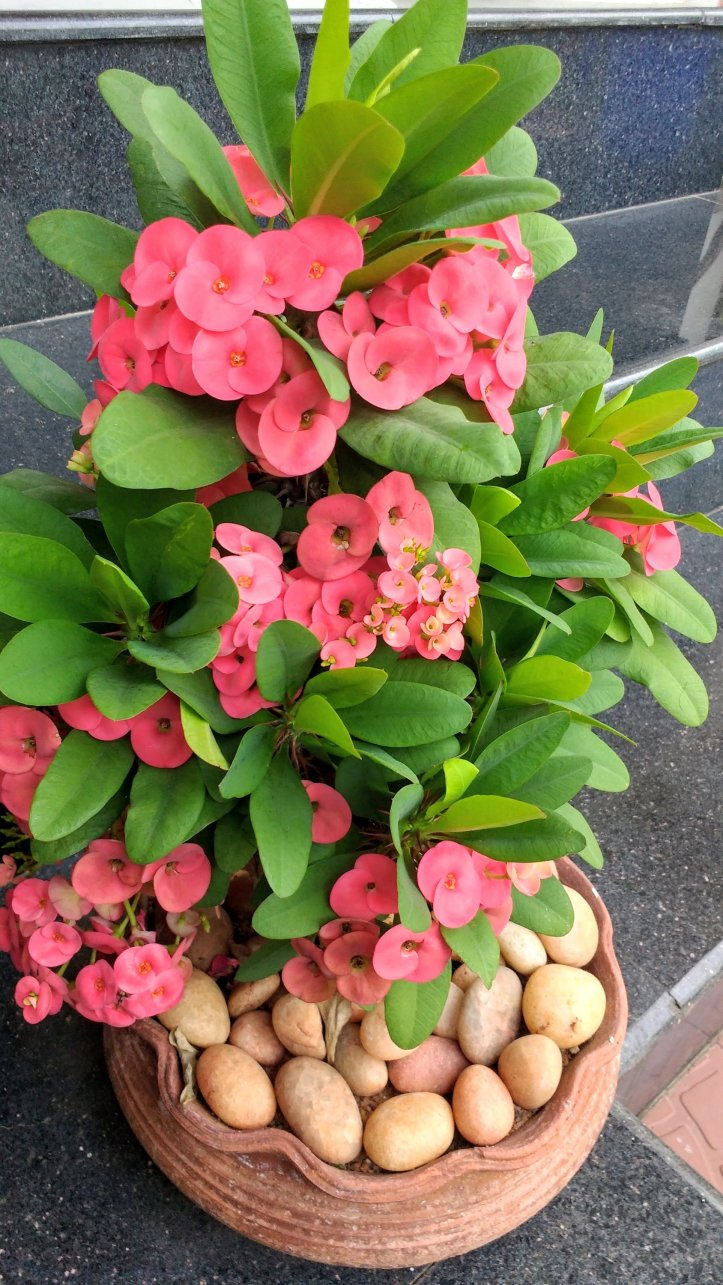 Euphorbia milii plants for gardens and balconies