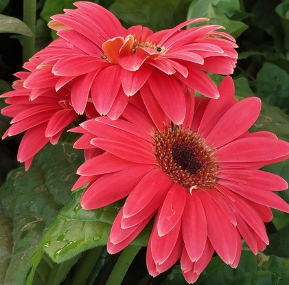 Daisy plants are ideal gifts
