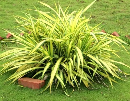 Spider plants are ideal for landscaping
