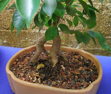 Exposed roots are features of Ficus ginseng microcarpa bonsai