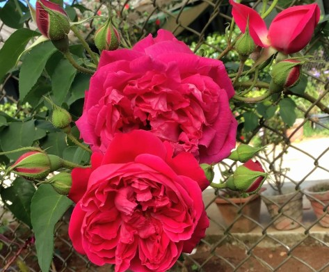 Roses are plants with fragrant flowers