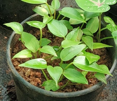 Anthurium plants indoors and outdoors
