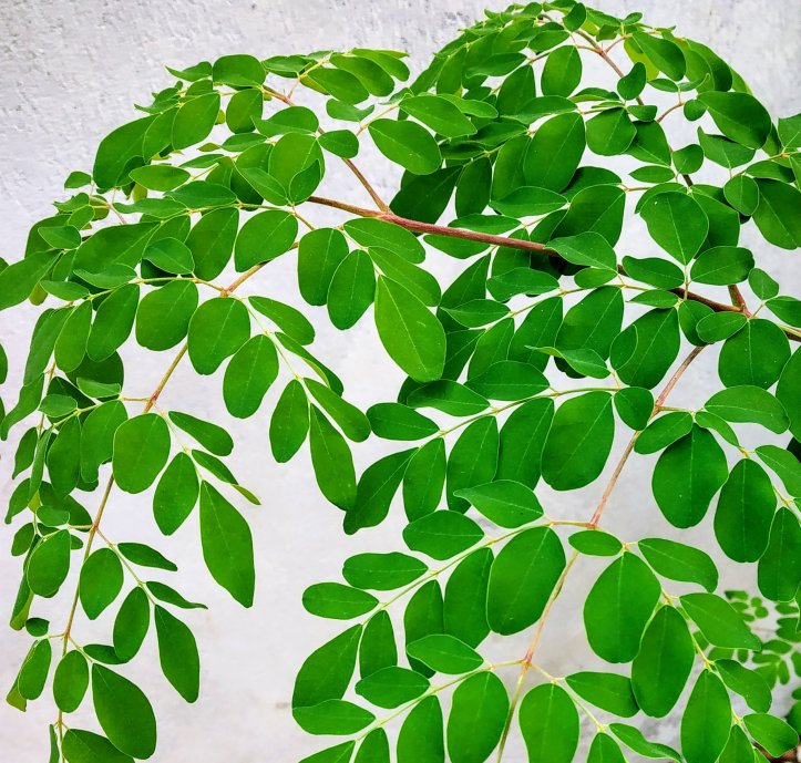 Moringa or drumstick tree leaves