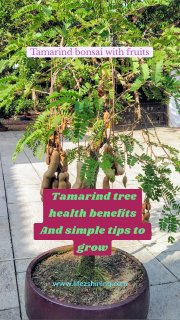 Tamarind tree health benefits And simple tips to grow Tamarind bonsai with fruits www.lifezshining.com