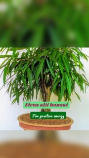 Ficus alii bonsai For positive energy