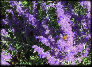 Bee on Russian sage  2018 Lif Strand photo