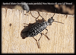 spotted blister beetle