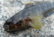 Rock Goby Close Up
