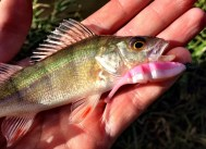 Lake Fork Trophy Lures Live Baby Shad