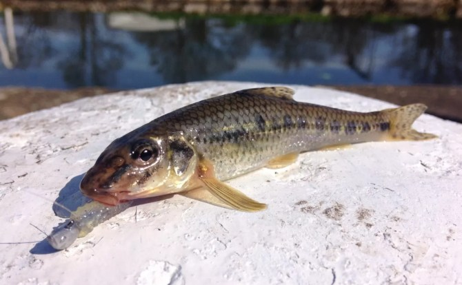 Lure Caught Gudgeon