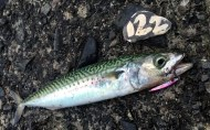 Mackerel Cornwall