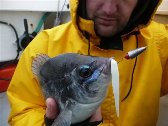 Black Bream on Mother Worm