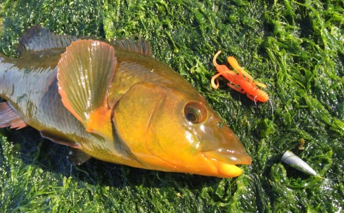 Golden Ballan Wrasse on HTO Bug-ga