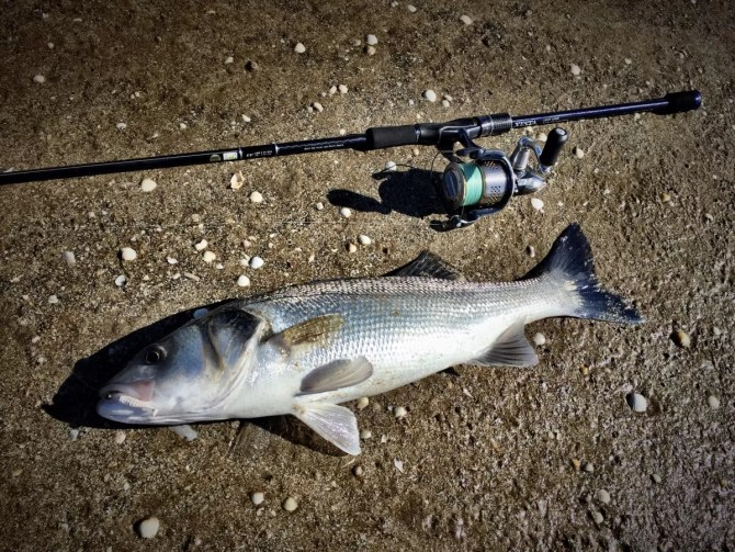 Estuary caught Bass