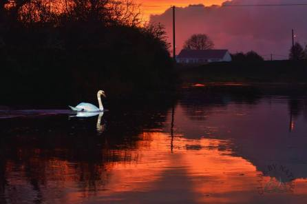 A swan on the River Fergus at Corofin as daylight fades. Photo Clare by Nature