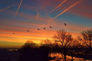 Whooper Swans at dawn over The River Fergus looking towards Lough Atedaun, Corofin, County Clare. Photo Sally Haywood-Clare by Nature
