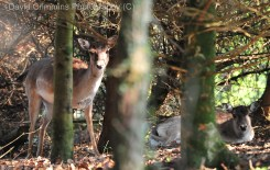 Deer at Dromoland. Pic: David Crimmins