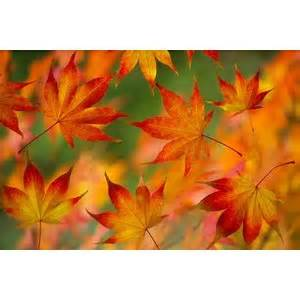 red leaves blowing