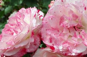 roze1-male