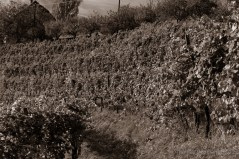 A vineyard in southern Styria. Somehow, the shot only worked in black and white for me.