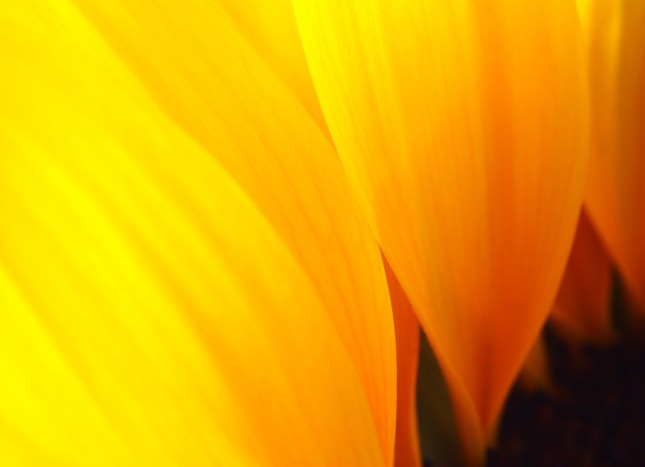 The golden curves of a sunflower