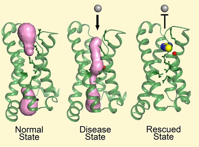 Structure reveals mechanism behind periodic paralysis