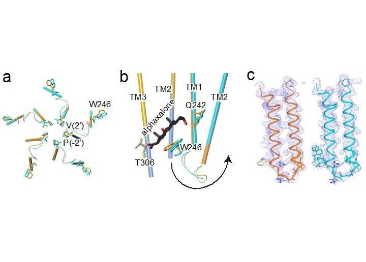 Structural basis of neurosteroid anesthetic action on GABAA receptors