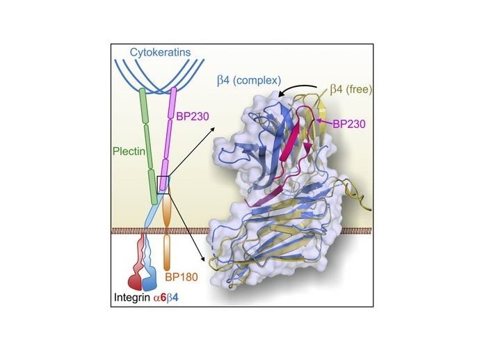 The interaction between two proteins involved in skin mechanical strength