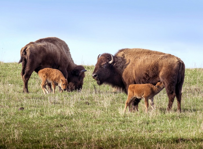 Canadian Light Source launches The Bison Project