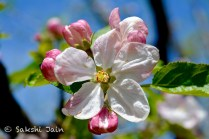Apple flower, Srinagar