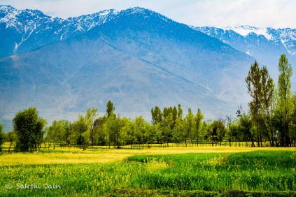 Mustard Fields, Kashmir