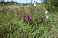 5-Early Marsh Orchid and Common Cotton-grass