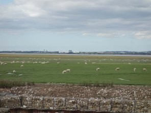 10-Sheep graze flats on the banks of the Mersey