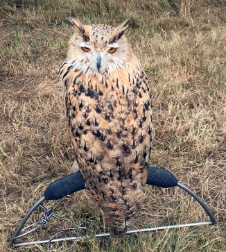 11-European eagle owl