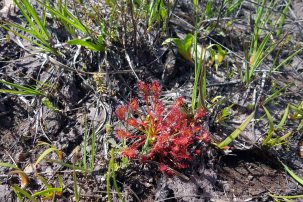 4-Oblong leaved Sundew