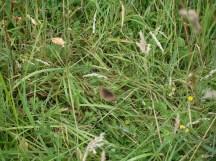 4-Meadow Brown