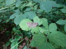 5-Speckled Wood