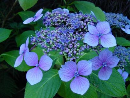 blue hydrangea flowers photos