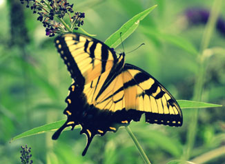 nopicture-butterfly1