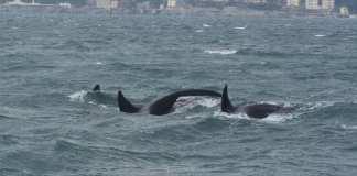 orche genova