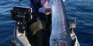 aguglia-imperiale-grosso-pesce