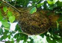 api selvatiche